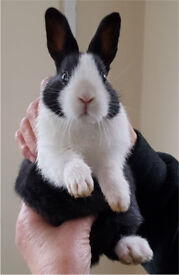 Adorable Baby Dutch Rabbits For Sale