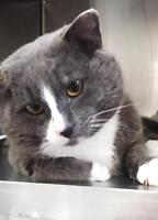 Adult Male  - Domestic Short Hair - gray and white-Tuxedo