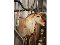 Huge taxidermy antelope antique