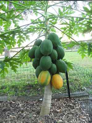 50+ Very Fresh Rare! Dwarf Waimanalo Papaya! tropical fruit tree seeds plant