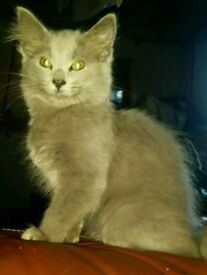 Reduced Absolutely stunning long haired British Blue X Siamese