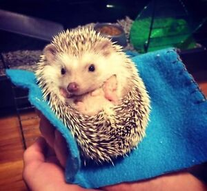 ADORABLE HEDGEHOG WITH CAGE INCLUDED