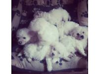 4 adorable male bichon frise puppies.