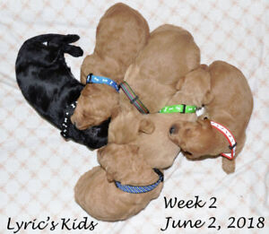 LABRADOODLE PUPPIES 2nd Gen
