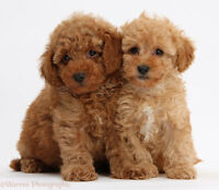Looking for teacup/toy poodle