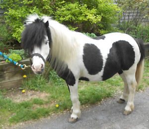 STANDING AT STUD - 32 1/2 in MINIATURE PINTO STALLION