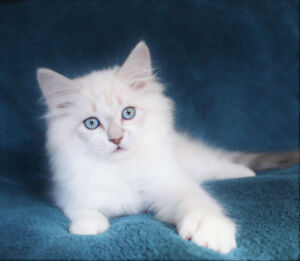 Lilac Ragdoll Kitten for a new home