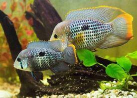 Green terra and convict cichlids