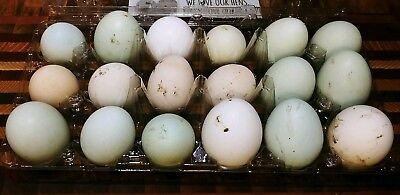 18 Fresh Fertile Chicken Hatching Eggs- Assorted Barnyard Mix Australorp