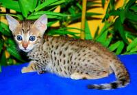 NEW FALL LITTERS OF BENGAL AND SAVANNAH CUBS (ALL TICA REG.)