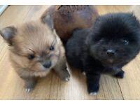2 KC Reg Male Pomeranian Puppies for Sale