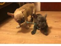 Extra mini blue and blue fan French bulldog puppies