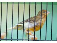 Beautiful Canaries for sale