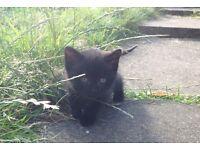 Male 9 week old kitten Black tabby