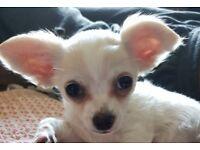 Chihuahua boy 16 wks