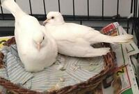 White dove pair
