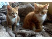 Ginger kittens for £ 50 each