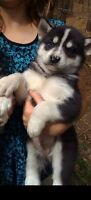 been looking for a husky male puppy for a while now