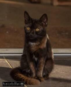 Calypso - Moggies Cat Rescue