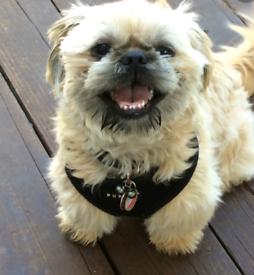 Shih tzus puppy cross
