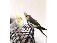 Cockatiel Birds and travel cage