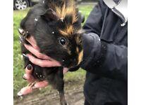 Boar (male) guinea pig