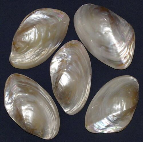 """(1) Polished Freshwater Mussel/Clam Paired Shell ~ Craft Seashell 3-1/2""""-4"""""""