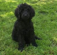 Male Standard Poodle pup