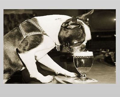 Crazy Vintage Dog Drinking Beer PHOTO Boston Terrier Glass Lager Bar 1959 circa