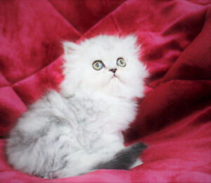 PUREBRED PERSIAN Male Kittens for Adoption
