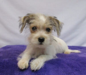 MORKIE (Maltese X Yorkie) F1 Classic Pied Male from tcup sire