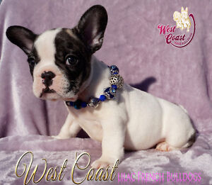 FRENCH BULLDOGS ..WE HAVE 2 LEFT !!