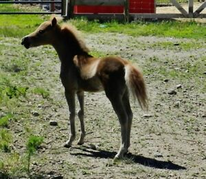 Gorgeous AMHA/AMHR Sorrel Miniature Colt