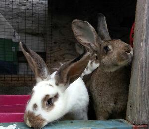 Flemish x Rex Meat cross Rabbits