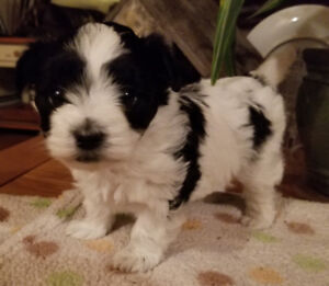 Beautiful Morkipoos and Morkie Puppies