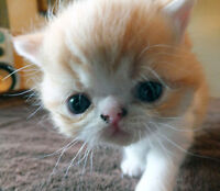 Exotic Shorthair d'exception