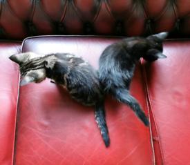 Two bueatifull tabby half bengal and black kittens