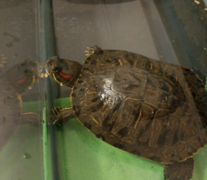 Turtle needs a new home