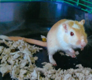 Male Gerbil with Cage  $20 for all