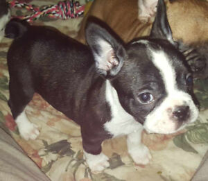 Frenchton Boys -Lovable, huggable, and very social