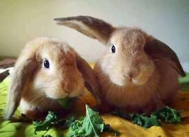 Beautiful young rabbits for sale inc. large indoor hutch and accessories