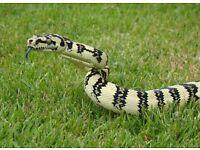 Snake - Carpet Python