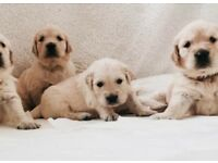 Traditional Kc reg vet checked golden retriever puppies