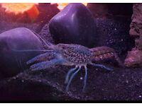 Healthy happy Blue Lobster Crayfish