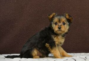 Stunning and colourful Morkie puppies