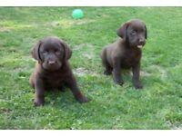 Chunky choc pedigree labrador pups
