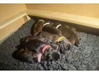 1/4 border collie 3/4 Staffordshire bull terrier