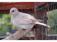 Diamond Dove for sale