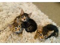 Three boy kittens