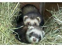EU line bred ferrets